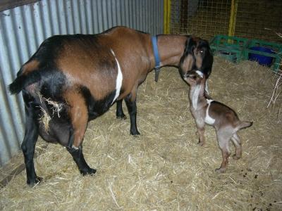 Nubian Goat Kid